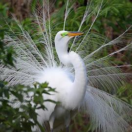 Breeding diaplay by Anthony Goldman - Animals Birds ( bird, wild, nature, tampa, floridaa, great breeding plumagemwildlife, egret, rookery )