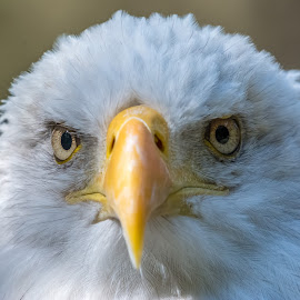 Bald Eagle Stare Down by Keith Sutherland - Animals Birds ( bald eagle )