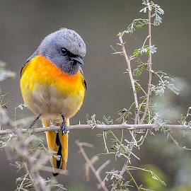 Small Minivet by Sanjeev Goyal - Animals Birds ( bird, small birds, minivet, wildlife, bird in wild, indian birds, birds of india )