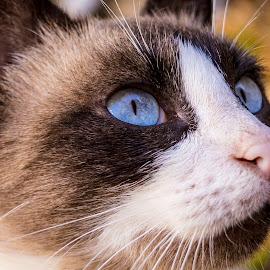 Blue eyes. by Danijela Danći - Animals - Cats Portraits ( cat, single, outdoors, unusual, interesting, domestic, portrait, animal )