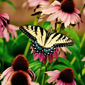 Butterfly and pink daisies. by Peter DiMarco - Animals Insects & Spiders ( butterfly, butterflies, insects, flowers, animal )
