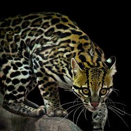 Ocelot Hunts by Shawn Thomas - Animals Lions, Tigers & Big Cats ( cat, tree, ocelot, nocturnal, wildlife, feline )