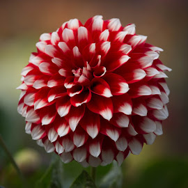 Perfect Red And White by Janet Marsh - Flowers Single Flower ( dahlia, red and white )