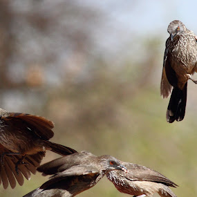 Incoming!! by Andrew Keys - Animals Birds ( babblers, flying, south africa, arrow-marked babblers, africa, birds )