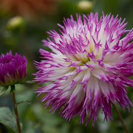 One Bud And One Open by Janet Marsh - Flowers Flower Gardens ( bud, dahlias, purple and white )