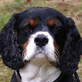 Where's the Biscuit Then? by Chrissie Barrow - Animals - Dogs Portraits ( mouth, male, white, portrait, eyes, curly, pet, whiskers, fur, ears, cavalier king charles spaniel, dog, nose, black, tan )