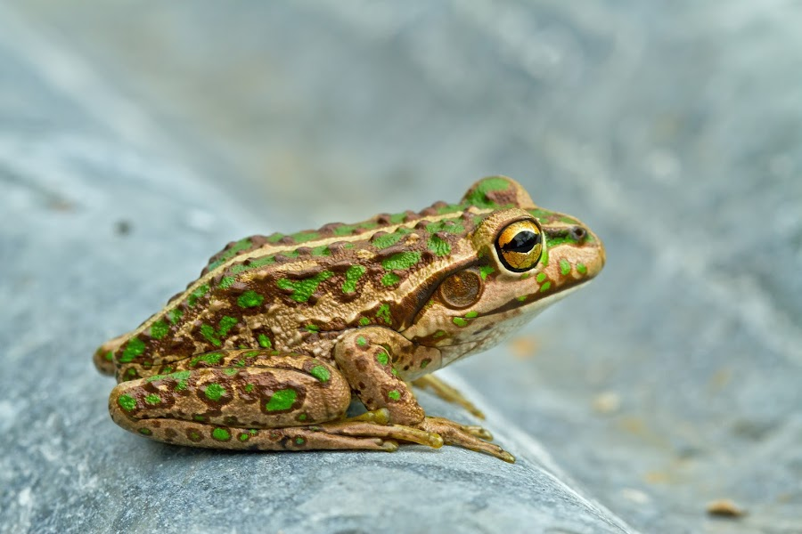 Small Frog by Steve Hatton - Animals Amphibians ( green spotted frog, frog, australian frog, amphibian, western australian amphibian, western australian frog, australian amphibian )