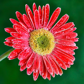 Red Gerbera flower by Jim Downey - Flowers Single Flower ( red, gold, green, dew, gerbera )