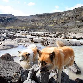 Glacier river by Sólrún Ragnarsdóttir - Animals - Dogs Running