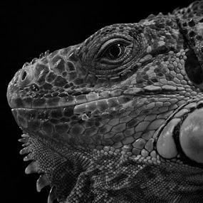 my lovelly iguana by Andreea Ciuca - Animals Reptiles