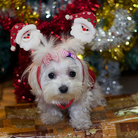 my small dog as santa claus by LADOCKi Elvira - Public Holidays Christmas ( glowing decorations, holiday, christmas decorations, santa claus, glowing balls, christmas, christmas tree, decorations, christmas balls, merry christmas )