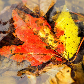 Mapel Leaf by Dave Walters - Nature Up Close Leaves & Grasses ( mapel leaf, nature, fall colors, blue ridge parkway, north carolina )