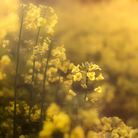 al campo.... by Tanya Popove - Flowers Flowers in the Wild ( plant, seed, green, white, agriculture, yellow, landscape, rural, country, farm, field, sky, season, nature, blue, food, background, meadow, summer, ecology, harvest, gold, flowers, flower )