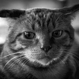 by Zibbies Du Toit - Animals - Cats Portraits