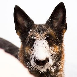 The first snow by Åsa Tåqvist - Animals - Dogs Portraits ( snow, beautiful dog, german shepherd dog, snowy dog, german shepherd, cute dog )