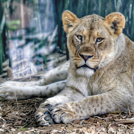 Young Luon by Diane Ljungquist - Animals Lions, Tigers & Big Cats