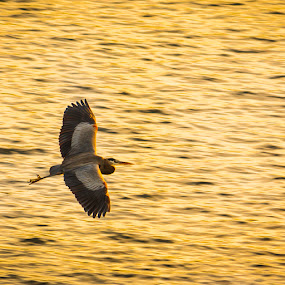 Blue Heron in Flight at Sunset by Greg Booher - Animals Birds ( bird, flight, blue heron, sunset )