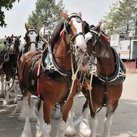 Budweiser Team Waiting To Begin In Parade by Stephen Beatty - Animals Horses