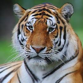 Tête de tigre by Gérard CHATENET - Animals Lions, Tigers & Big Cats
