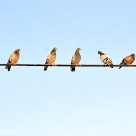 Pigeons on a wire by Jaliya Rasaputra - Animals Birds