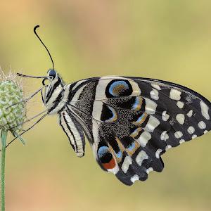 Papilio demodocus - Citrus butterfly o Christmas butterfly (Esper, 1798).jpg