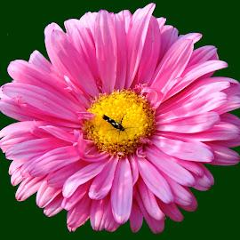 PINK BRIGHT by SANGEETA MENA  - Flowers Flower Gardens