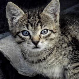 Brutus by Flaviu Negru - Animals - Cats Kittens