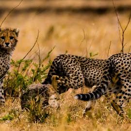 On the alert by Ilan Abiri - Animals Lions, Tigers & Big Cats ( mammals, wild, animals, colors, beautiful, wildlife, travel, tanzania, cheetah, nature, safari, africa, travel photography )