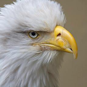 Eagle Eye by John M. Larson - Animals Birds ( 7d mkii, canon, bird, bird of prey, eagle, nature, alaska, preditor, bald eagle, animal,  )