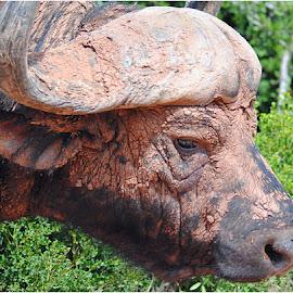 Mudpack beauty treatment by Johann Perie - Animals Other ( buffalo )