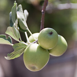 Delicious Green Apples by Sherry Hallemeier - Food & Drink Fruits & Vegetables ( fruit, green, california, fruits, landscape, photo, photography, apple tree, fruit tree, healthy eating, greenery, artistic, photographer, healthy, apples, garden, produce )