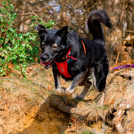 Jumping dog by Jenny Trigg - Animals - Dogs Running ( akita, jumping, husky, german shepherd, dog, running, gsd, photography )