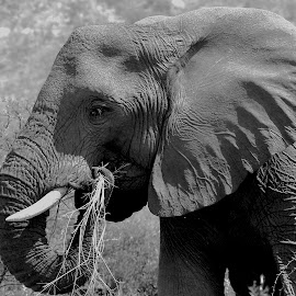 Grass dinner  by Christo W. Meyer - Novices Only Wildlife ( eating, elephant )