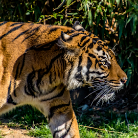 tiger by Dale Youngkin - Animals Lions, Tigers & Big Cats ( big cat, zoo, tiger, large mammal, mammal )