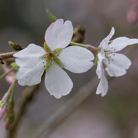 Springtime by Janet Marsh - Flowers Flower Gardens ( spring, blossoms,  )