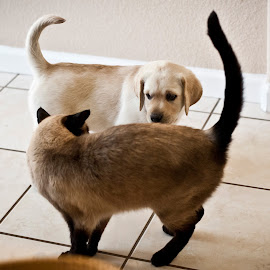 Eye-to-Eye by Howie George - Animals - Dogs Playing ( labrador retriever, cat, floor, brown, puppy, siamese cat, yellow, tan )