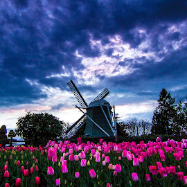 Almost Holland by Judi Kubes - City,  Street & Park  City Parks ( bluehour, clouds, blue, pink, tulips, flowers, dusk, windmill,  )