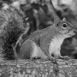 by Jill Nightingale - Black & White Animals ( fur, fl, grey squirrel, acorn, cute, sciurus, white, mammal, rodent, backyard, gray squirrel, fluffy, furry, us, park, bushy tailed )