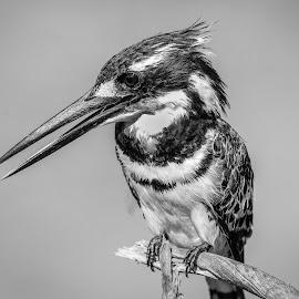 Pied Kingfisher by Dirk Luus - Black & White Animals ( nature, bird, animal, kingfisher, wildlife )