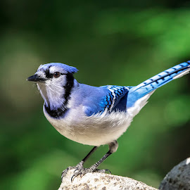 Blue Jay in the Adirondacks by Debbie Quick - Animals Birds ( bird watching, debbie quick, nature, adirondacks, blue jay, songbird, nature up close, nature lovers, natures best shots, new york, debs creative images, wildlife photography, blue, animal photography, ticonderoga, essex county, bird photography, bird, animal, wild, nature photography, wildlife )
