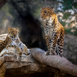 The Queen and her guardian by Mauritz Janeke - Digital Art Animals ( big cats, uae, mauritz, male and female, leopards, abu dhabi, leopard,  )