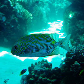 Great Barrier Reef by Sarah Harding - Novices Only Wildlife ( nauture, underwater, fish, novices only, sea )