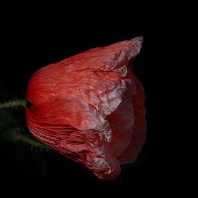 Amapola by Daly Sda - Flowers Single Flower ( poppie, red, nature, amapola, flower )