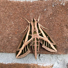 Banded Sphinx