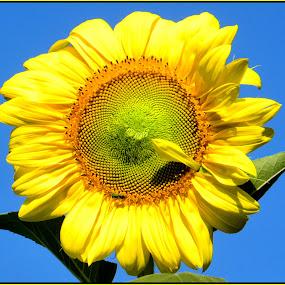 Sunflower by Patti Westberry - Nature Up Close Flowers - 2011-2013 ( sunflower. yellow sunflower, blue background, sunflower head, flower,  )