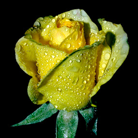 yellow rose by Anand Kumar - Nature Up Close Flowers - 2011-2013 ( rose, nature, petals, yellow, close up, flower, droplets )
