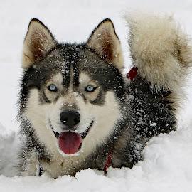 The snow is deep! by Kari Schoen - Animals - Dogs Portraits