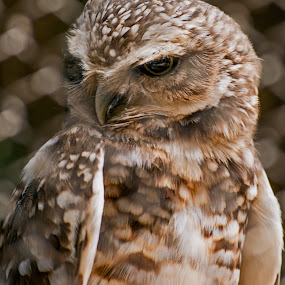 Small Owl Posing by Joanne Burke - Animals Birds
