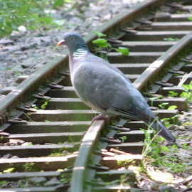 by Nick Parker - Transportation Railway Tracks ( pigeon,  )
