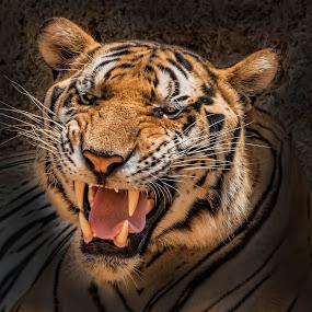 Tiger roar! by Lisa Coletto - Animals Lions, Tigers & Big Cats ( cat, tiger, roar, head shot, feline,  )